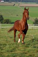 American Saddlebred Stock 23 by LuDa-Stock