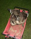 Goslings in a Red Wagon by Windthin