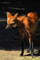 Maned Wolf by Wilithin