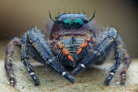 Jumping Spider (Hyllus sp.) by melvynyeo