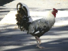 The Rooster Crossed the Road by HouseofChabrier