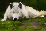 Wolf Digital Painting by arnyia
