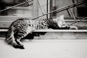 Sleeping cat by Svetlana-Sergeevna