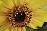 Sunflower by TLL-MatheX