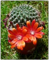 Rebutia Red by cactusmumkate