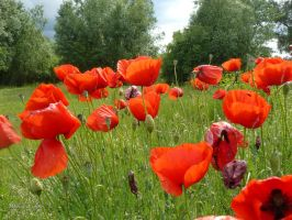 Poppies in the wind by andi40