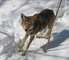 Red Wolf Stock 37 by HOTNStock
