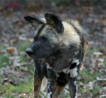 African Wild Dog by panda69680102