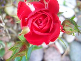 Little Red Rose by evanna11