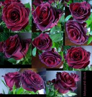 Rose Stock 5 by Melyssah6-Stock