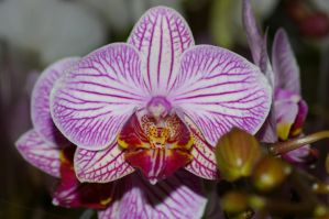 Purple Veined Orchid by PatGoltz