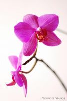 Orchid in bloom by bwanot