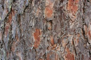 texture 65 pine tree by i-see-faces