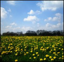 In my field of yellow flowers by Myque