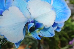 Pale Blue Orchid by Miss-Tbones