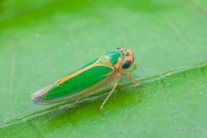 Leafhopper by melvynyeo