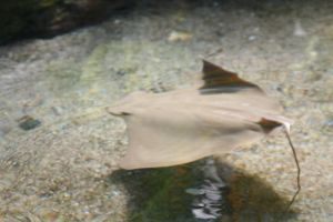 My trip to SeaWorld- Baby stingray by MikeG360