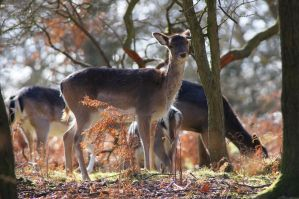 Cannock Chase Deer by MichaelJTopley