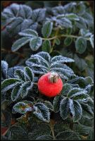A lonely rose hip by eswendel
