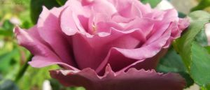 Macro rose by Ranae490