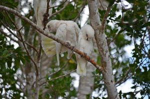 Little Corella III by iskarlata
