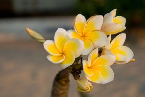 Frangipani flower III by DeviantTeddine