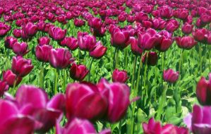 Purple Tulips I by Photos-By-Michelle