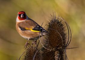 Goldfinch IPG 121111 578B by Paul-Gulliver