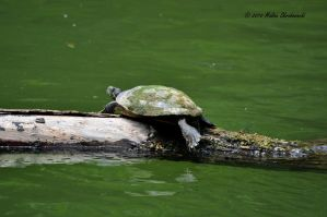 Red-eared Slider by aperfectmjk