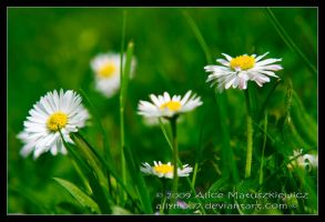 Just a few daisies... by allym007