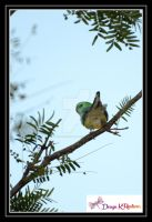 Red rump grass parrot 3 by DesignKReations