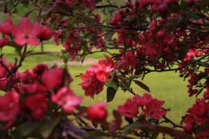 Red Apple Blossoms by S-H-Photography