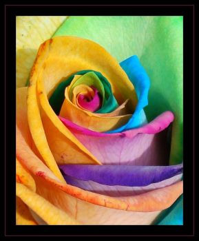 A Rose of Many Colours by ali-musette