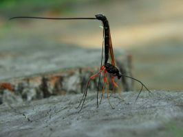 These ichneumon flys by A2812