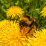 Bumblebee on a Dandelion by JoannaMoory