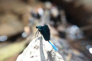 Another shot of the Damselfly by estrar