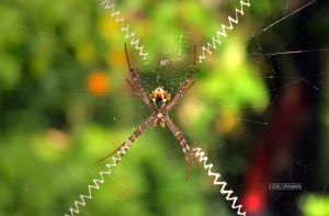 Spider by himphotography