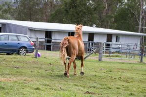 Dn WB chestnut trot view from behind by Chunga-Stock