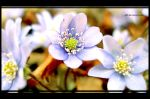 __blue flowers__ by G09