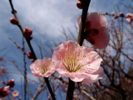 STOCK JAPAN CHERRY AND PLUM NO:040040001 by hirolus
