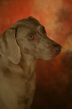 Weimaraner by visions-photography