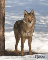 Coyote by Les-Piccolo