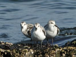 Pipen Plover Trio by KayleiImagery