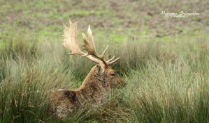 Tired fallow deer by MorganeS-Photographe