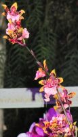 Orchids Mini Ones by MercedesLexis
