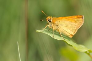 Essex skipper by andabata