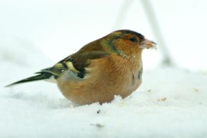 Common Chaffinch on the feeding table by steppeland