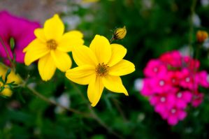 yellow flower by Miiimzz