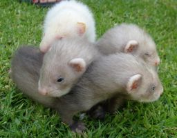 Ferret Babies on the Grass 2 by arlee