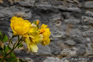 Yellow rose by BESH-LC
